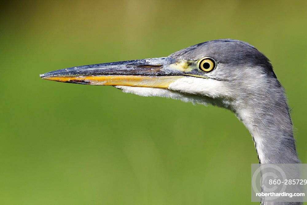 Portrait of Grey heron, Midlands UK