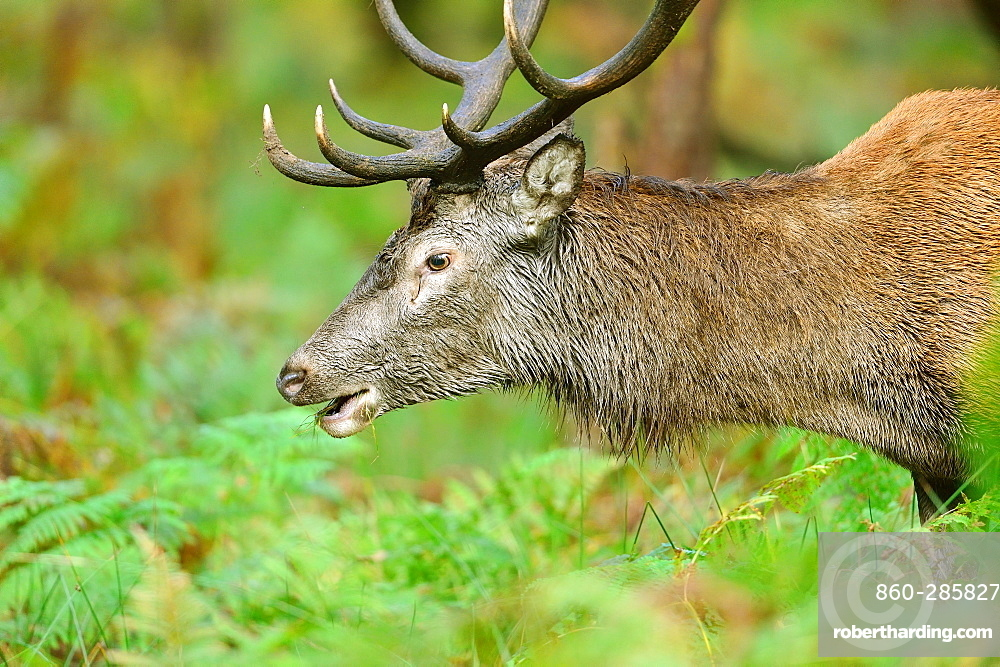 Red deer in the ferns, Boutissaint Burgundy France