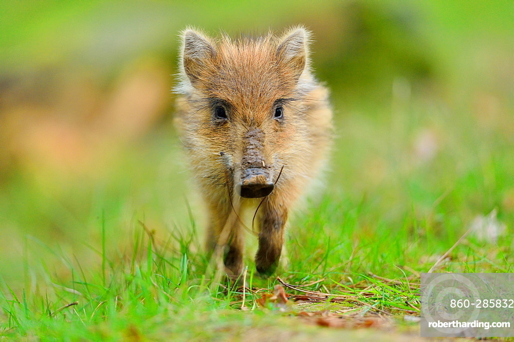 Young Eurasian Wild Boar, Boutissaint Burgundy France