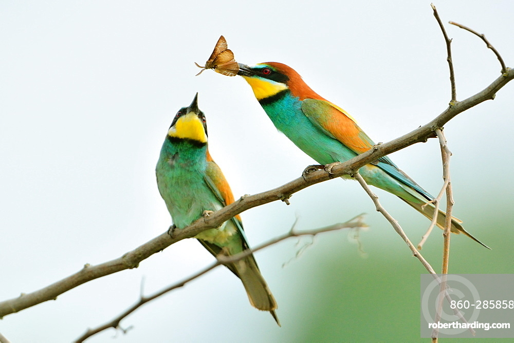 European bee-eater courtship on branch -Loire Valley France