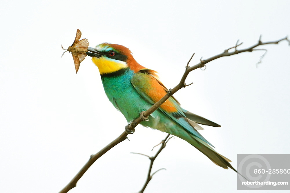 European bee-eater with prey on branch -Loire Valley France