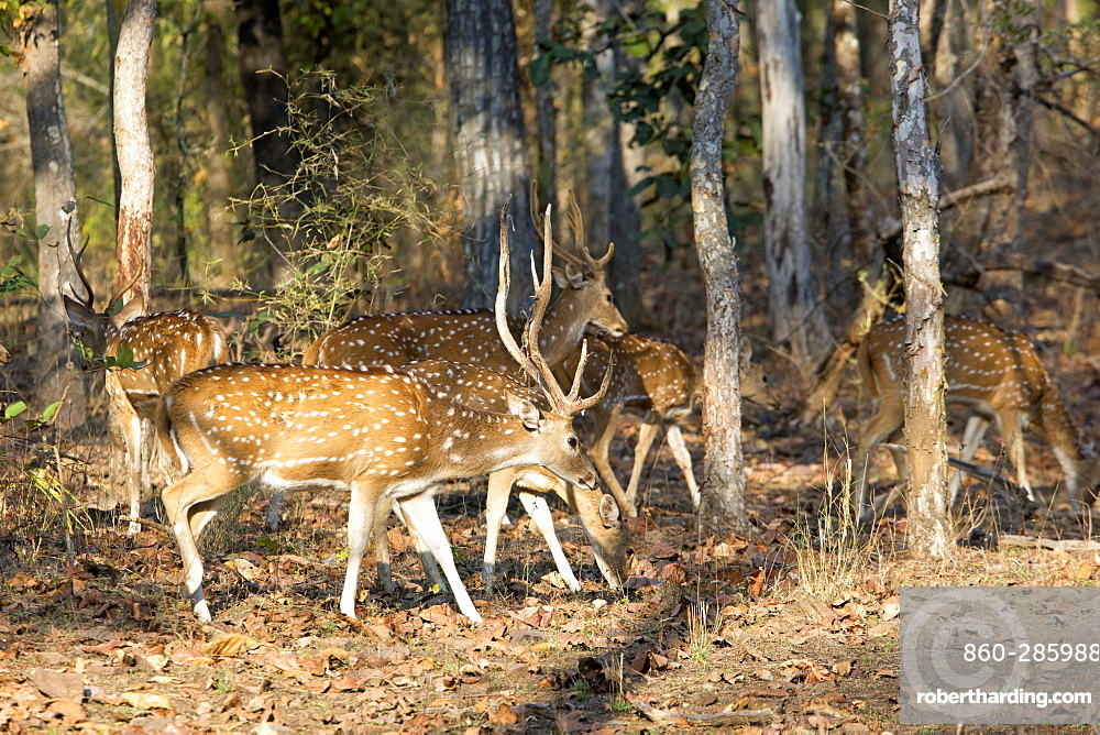 Axis deer in the undergrowth, Bandhavgarh NP India