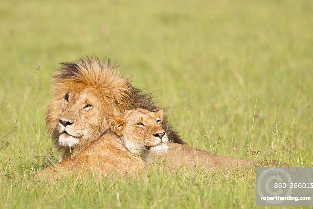 Lion couple lying in the bush, Masai Mara Kenya