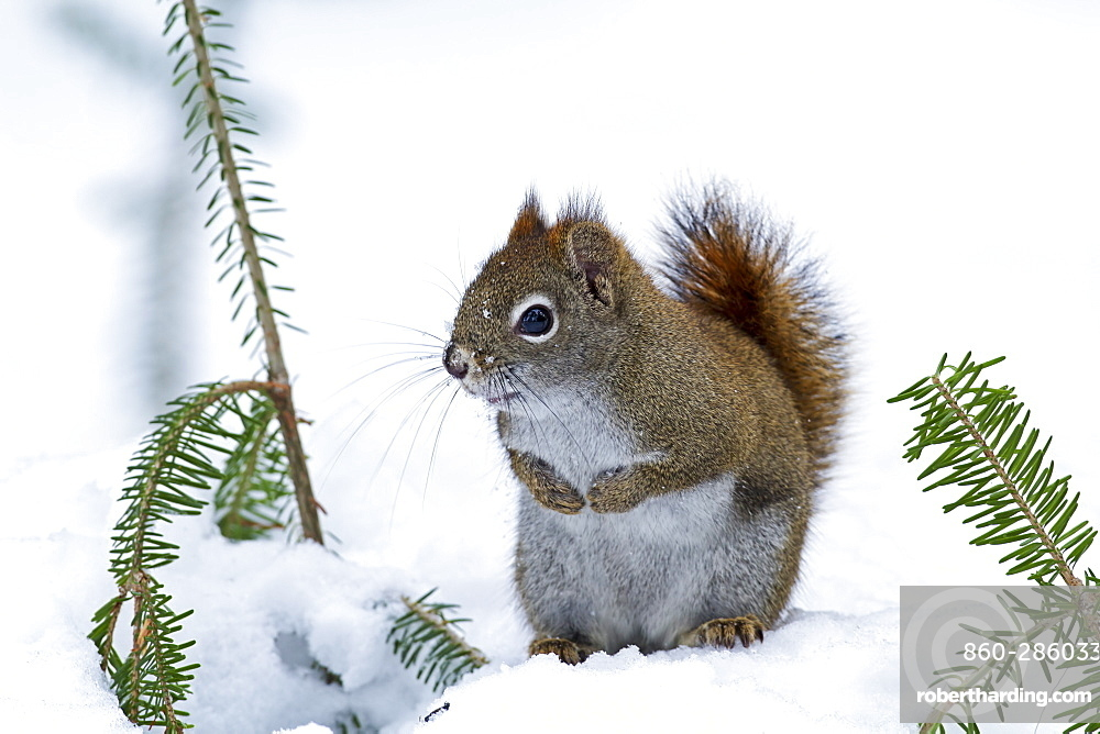 American Red Squirrel on snow in winter, Quebec Canada