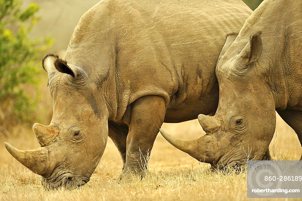White Rhinoceros in savannah, Kruger NP South Africa