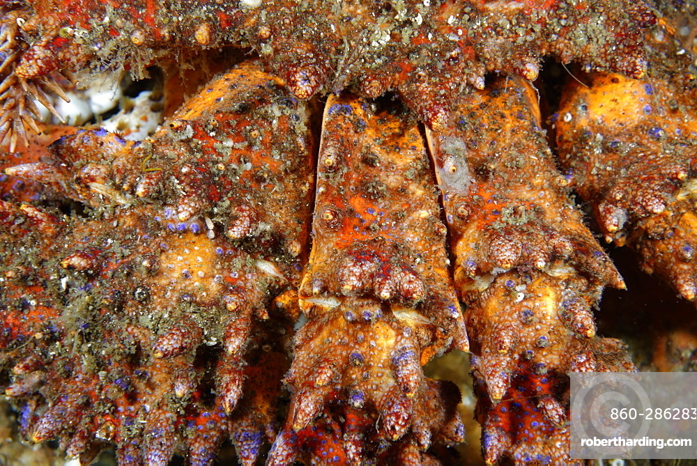 Paws of Puget Sound king crab, Alaska Pacific Ocean