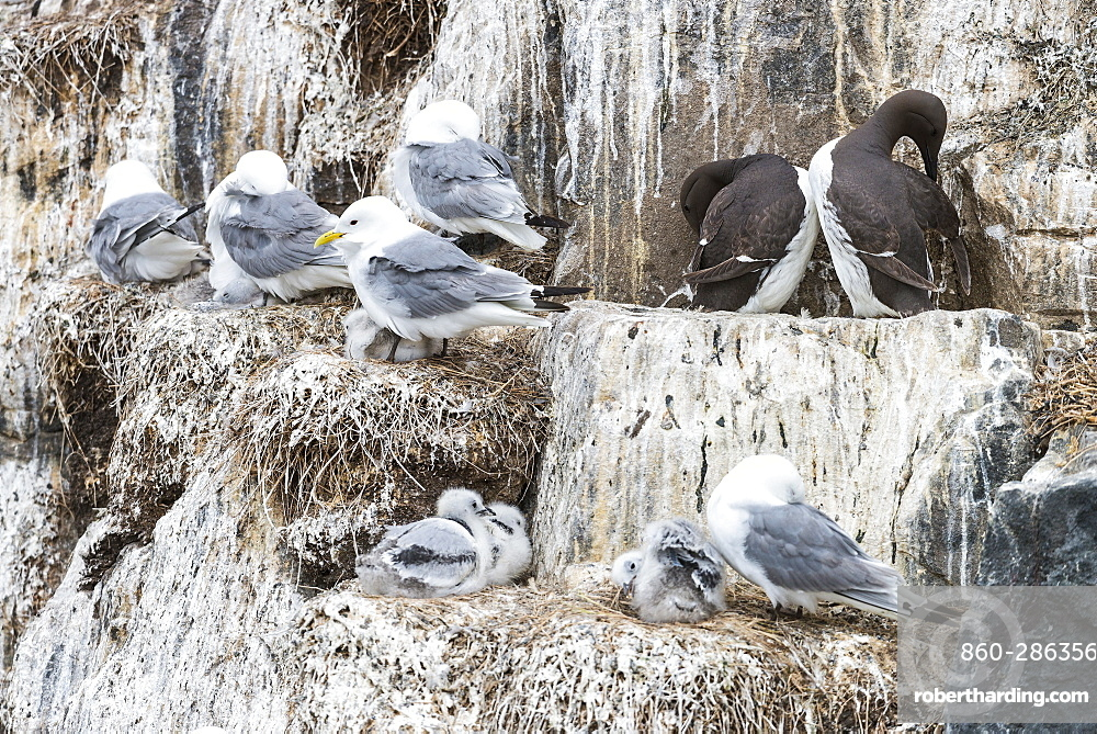 Kittiwakes at nest and Guillemots on cliff, British Isles