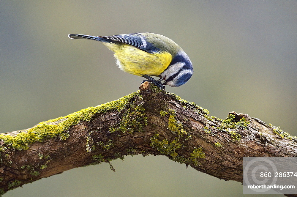 Blue tit dissecting a seed on a branch, France