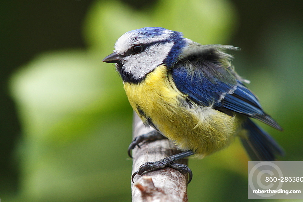 Blue tit on a branch in high winds, France