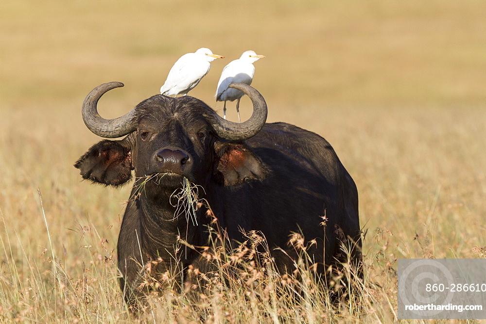 Kenya, Masai-Mara game reserve, buffalo (Syncerus caffer), with cattle egret