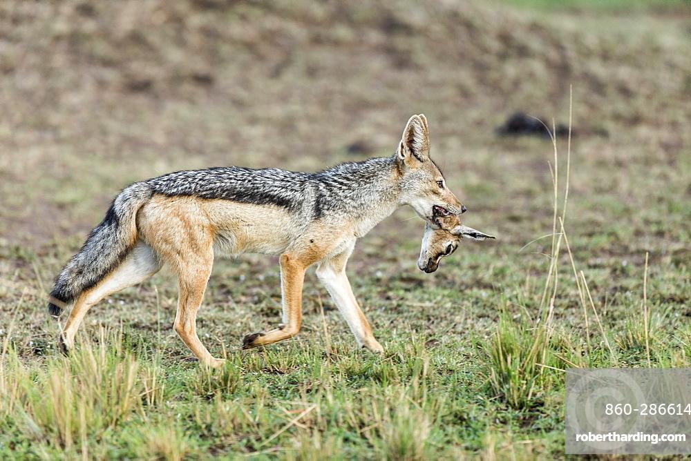 Kenya, Masai-Mara game reserve, black-backed jackal (Canis mesomelas)