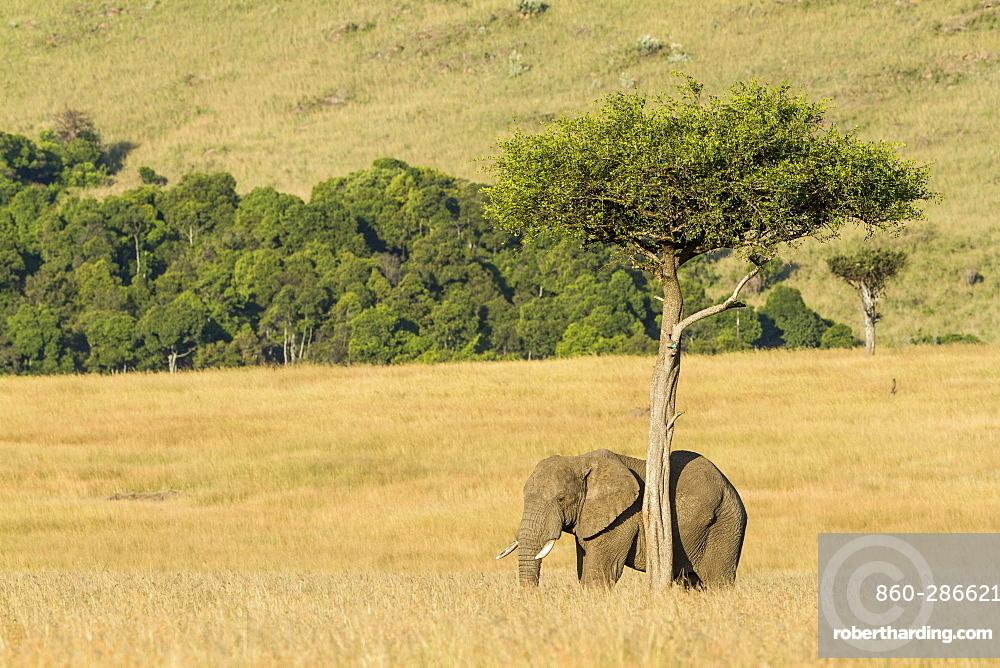 Kenya, Masai-Mara Game Reserve, Elephant (Loxodonta africana), feeding