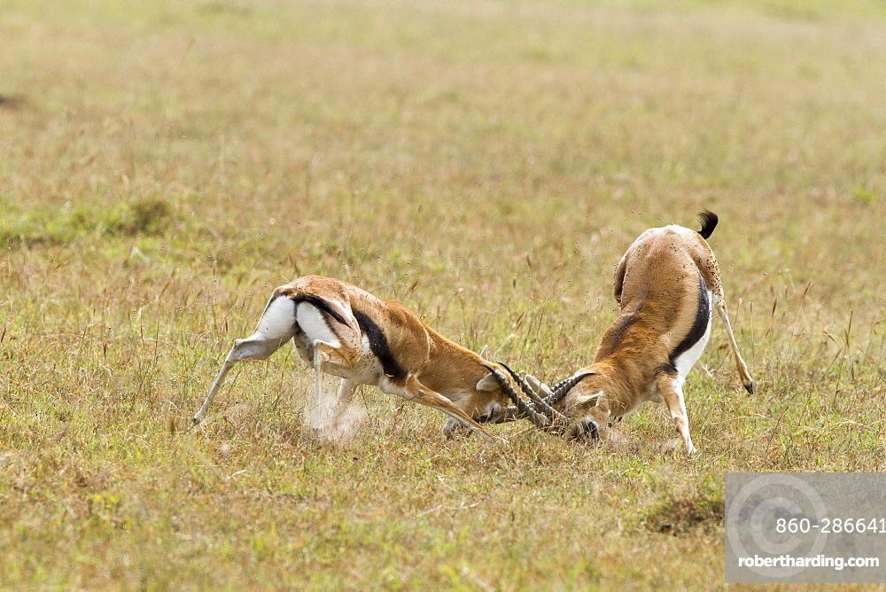 Kenya, Masai-Mara game reserve, Thomson's gazella (Gazella Thomsonii), males fighting