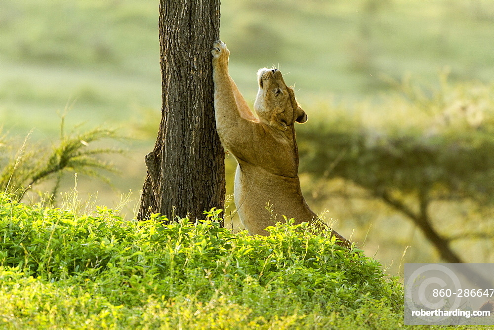 Tanzanie, Ngorongoro national park, Lion (Panthera leo), female