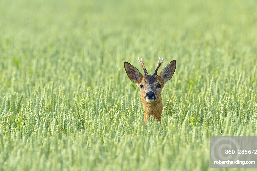 Western Roe Deer (Capreolus capreolus) in Corn Field, Roebuck, Hesse, Germany, Europe