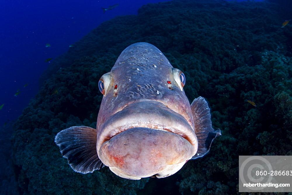 Dusky grouper, Epinephelus marginatus, Formigas Islet dive site, 27 miles northeast of Santa Maria Island, Azores, Portugal, Atlantic Ocean