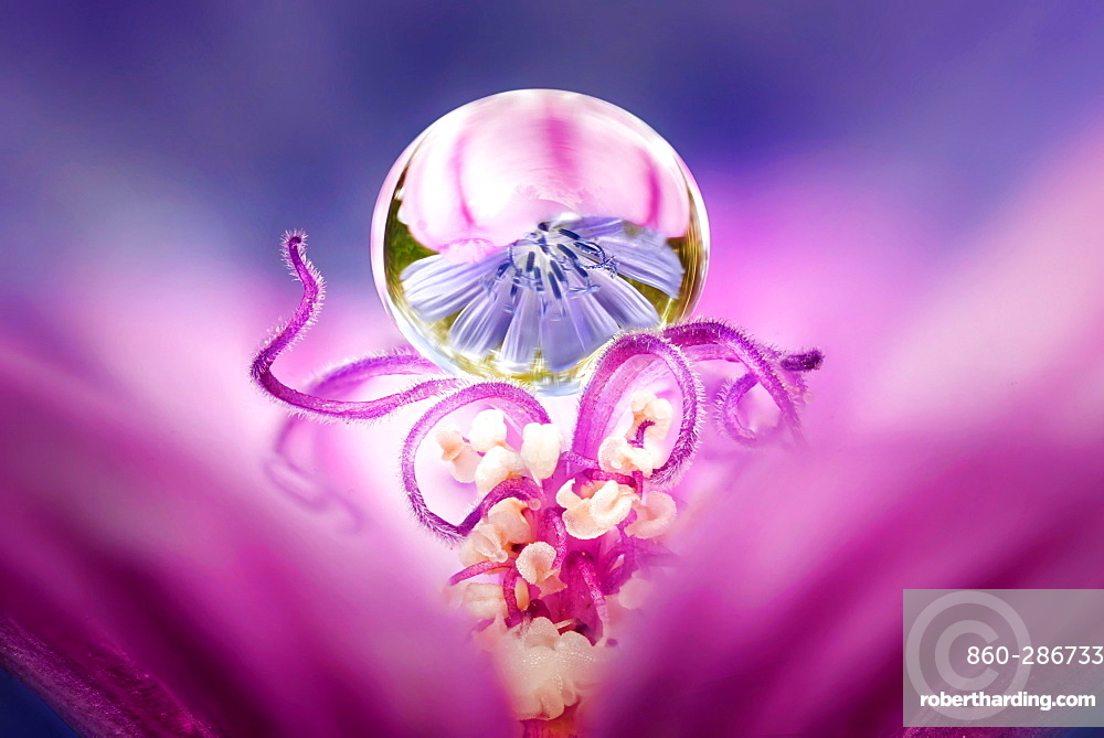 Drop of dew suspended on the stamens of a mallow flower