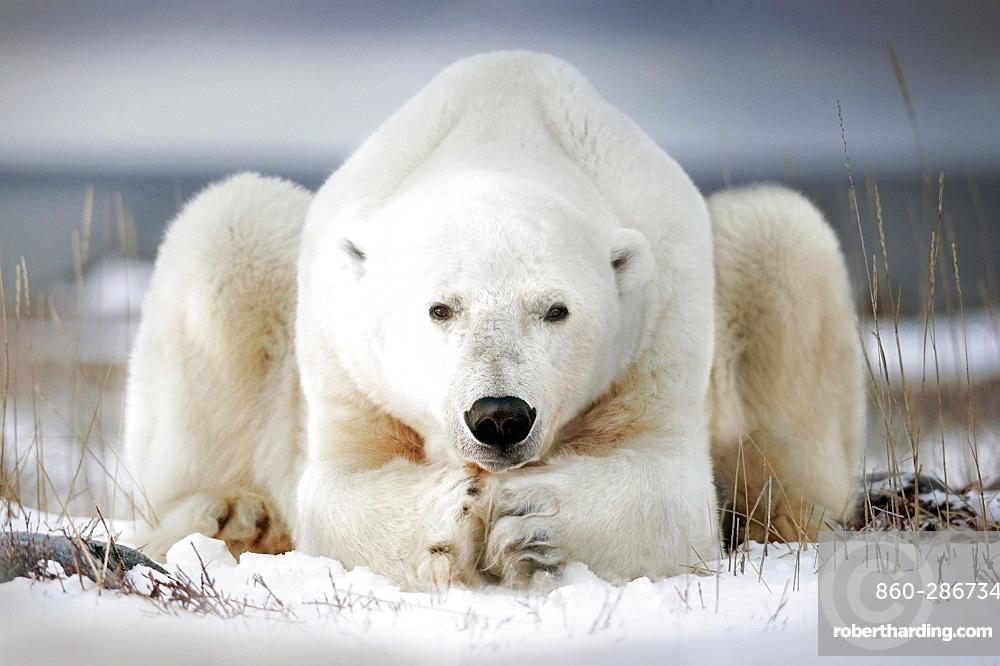 Polar bear seems to pray, Churchill bay, Canada