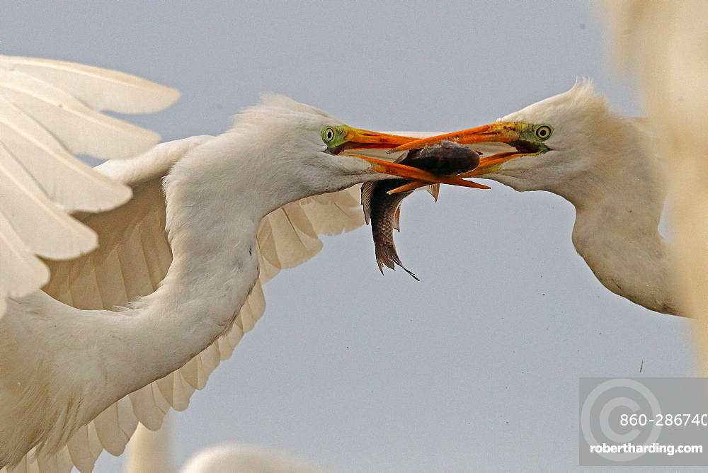 Great Egret ( Egretta alba ) fighting for a fish , Hungary