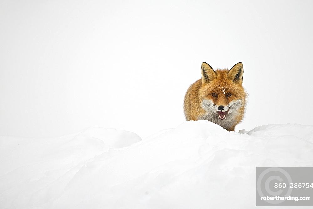 Red fox (Vulpes vulpes) in snow in winter
