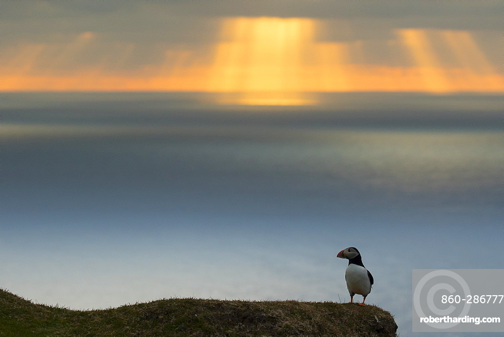 Puffin (Fratecula arctica) Puffin at sunset, Hermaness, Shetland, Summer