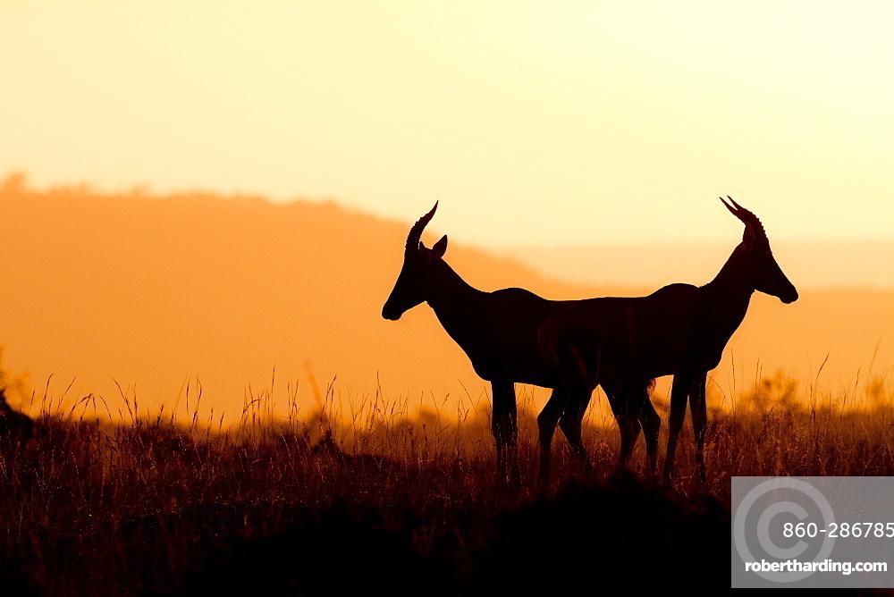 Topi antelopes (Damaliscus lunatus) against the light at sunrise, Kenya
