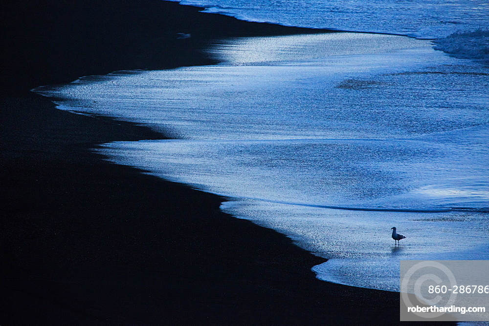Gull (Larus sp) silhouette on black lava beach in late night, Iceland