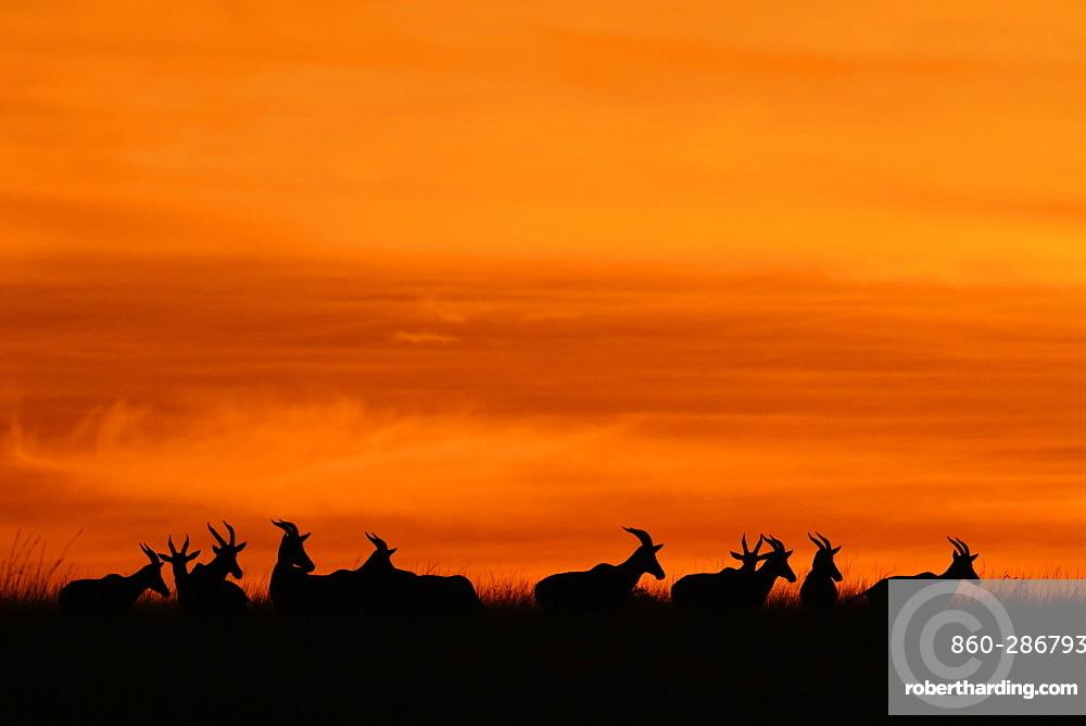Silhouettes of Antelopes at sunrise, Kenya