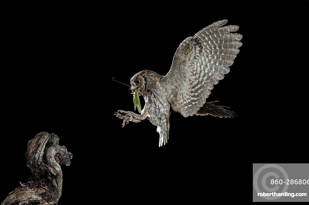 Eurasian Scops Owl (Otus scops) landing with prey at night, Spain
