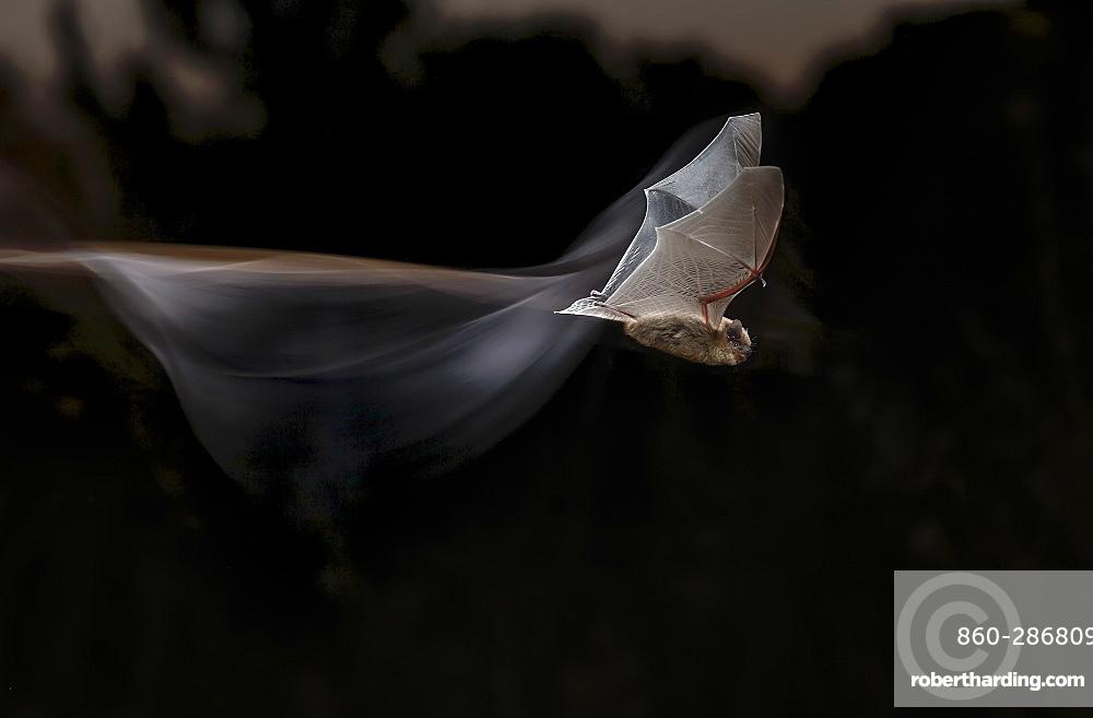 Common pipistrelle (Pipistrellus pipistrellus) in flight at night, Spain