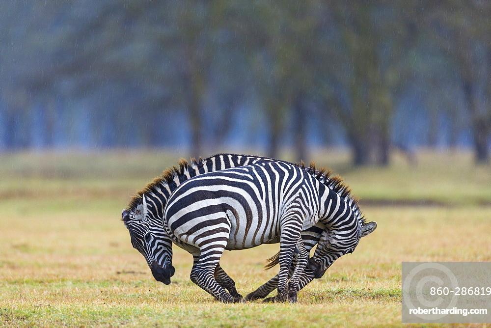 Plains zebra (Equus burchelli) fighting, Nakuru lake National Park, Kenya