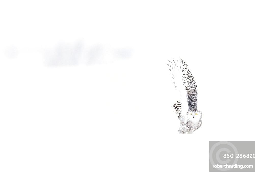 Snowy Owl (Nyctea scandiaca) in the snow, Scandinavia