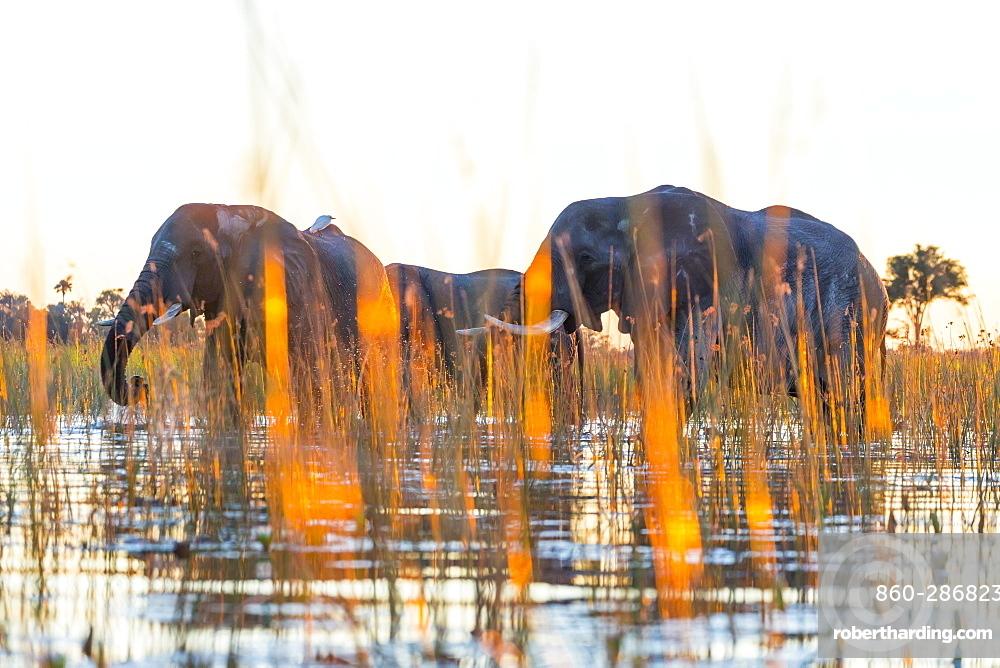 African Elephants (Loxodonta africana) moving in water, Okavango Delta, Botswana