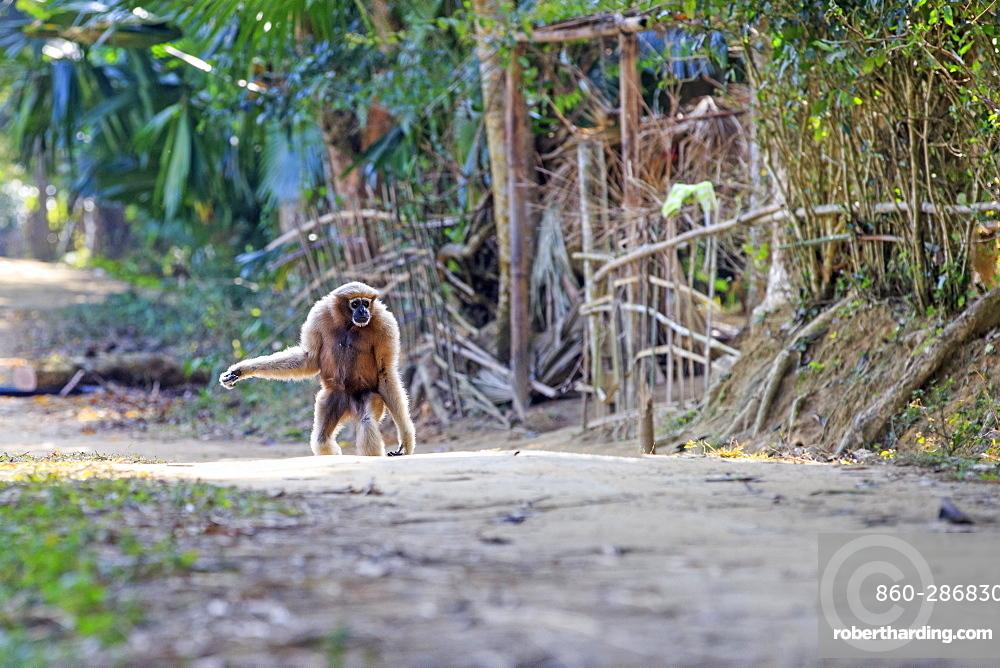 Western hoolock gibbon (Hoolock hoolock), adult female tamed in a village, Gumti wildlife sanctuary, Tripura state, India