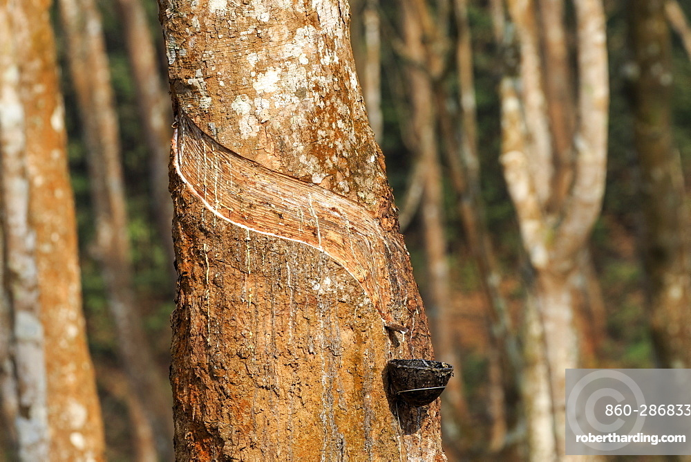 Harvesting latex from rubber trees, Tripura state, India