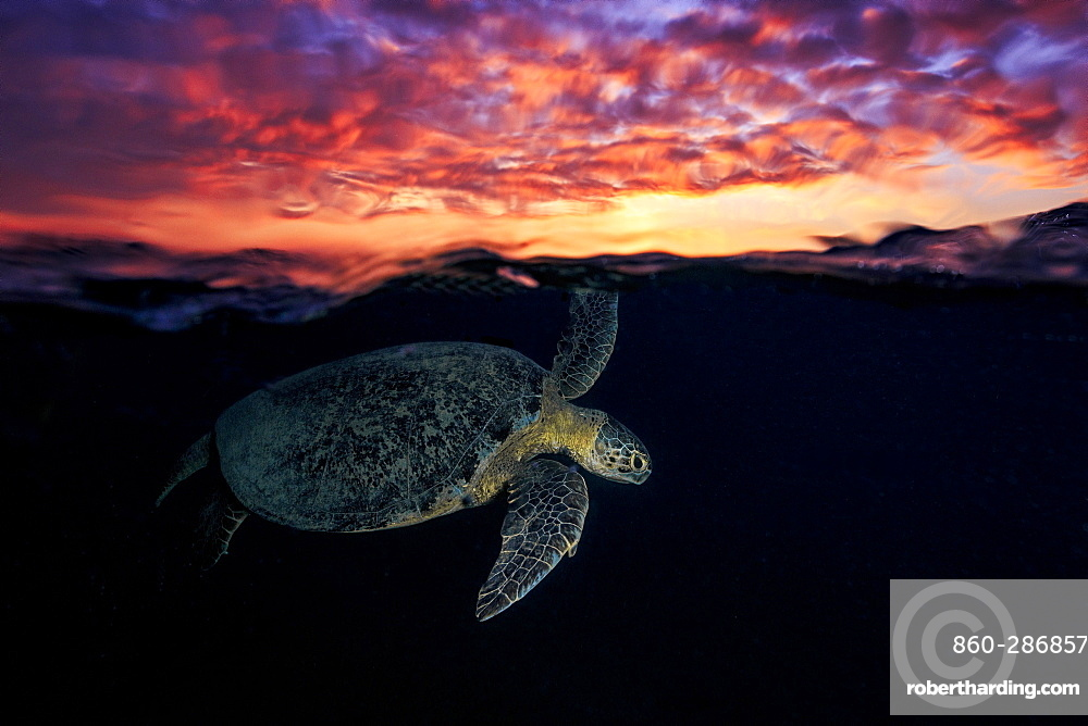 Green turtle (Chelonia mydas) swimming under the surface at dusk, Indian Ocean, N'Gouja Bay, Mayotte