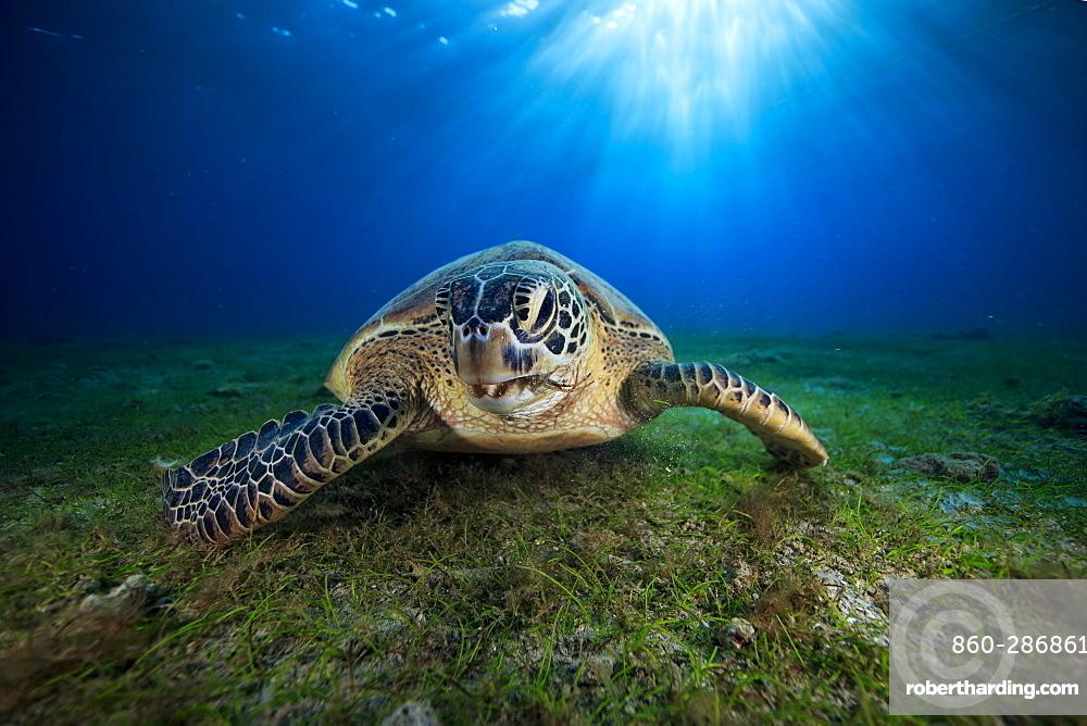 Green turtle (Chelonia mydas) on the bottom, Indian Ocean, N'Gouja Bay, Mayotte