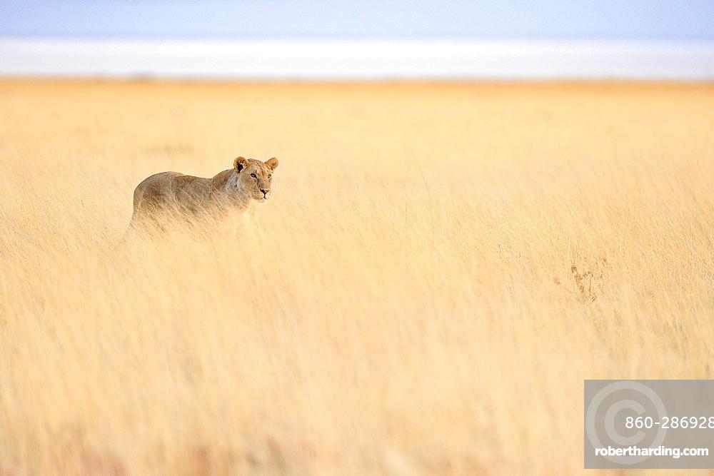 Lioness in savanna, Etosha, Namibia