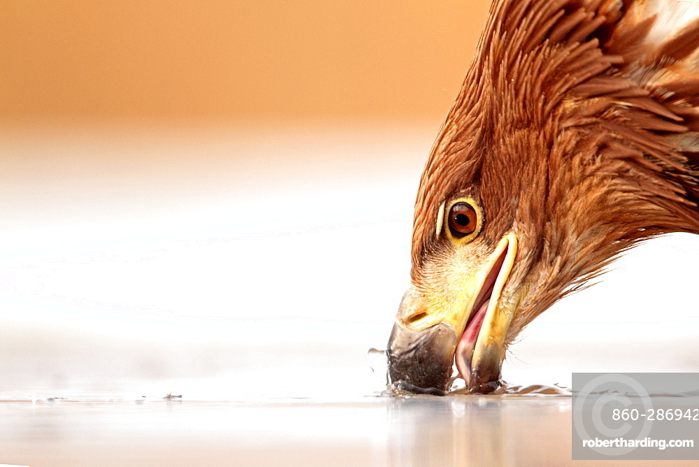 Portrait of a White-tailed Eagle putting its beak in ice