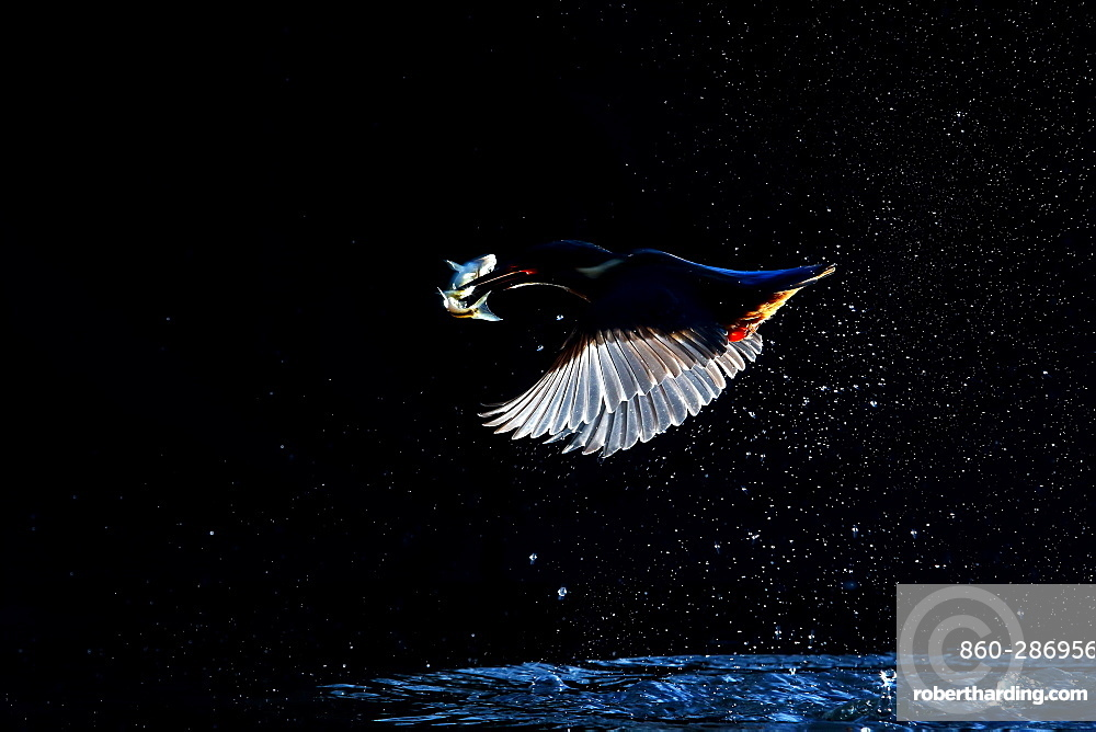 European Kingfisher in flight after fishing against the light