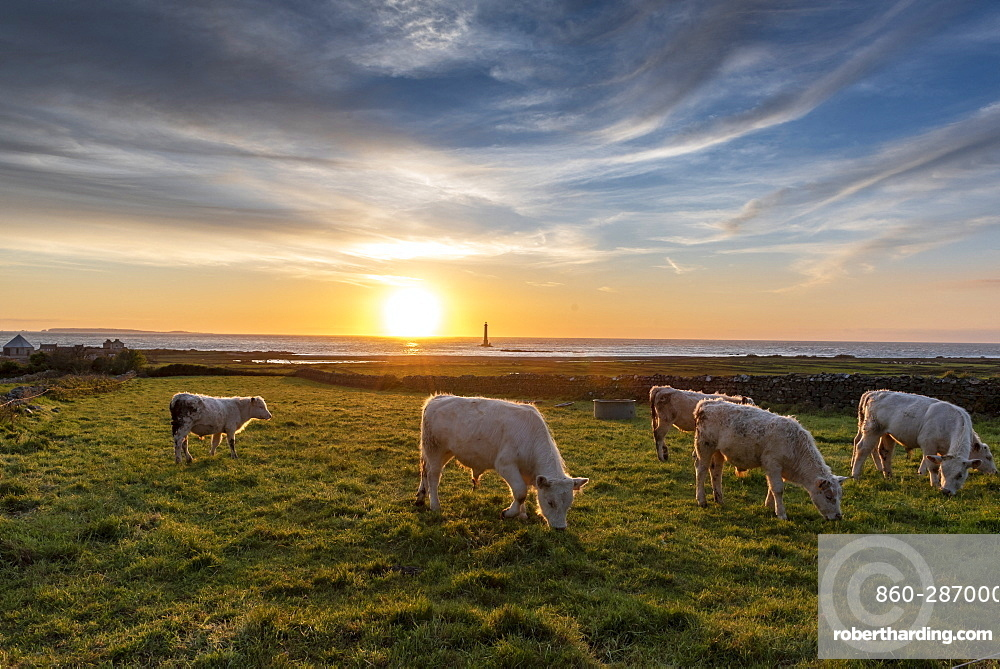 Charolais oxen in a meadow facing Goury lighthouse, Auderville, Manche, Normandy, France