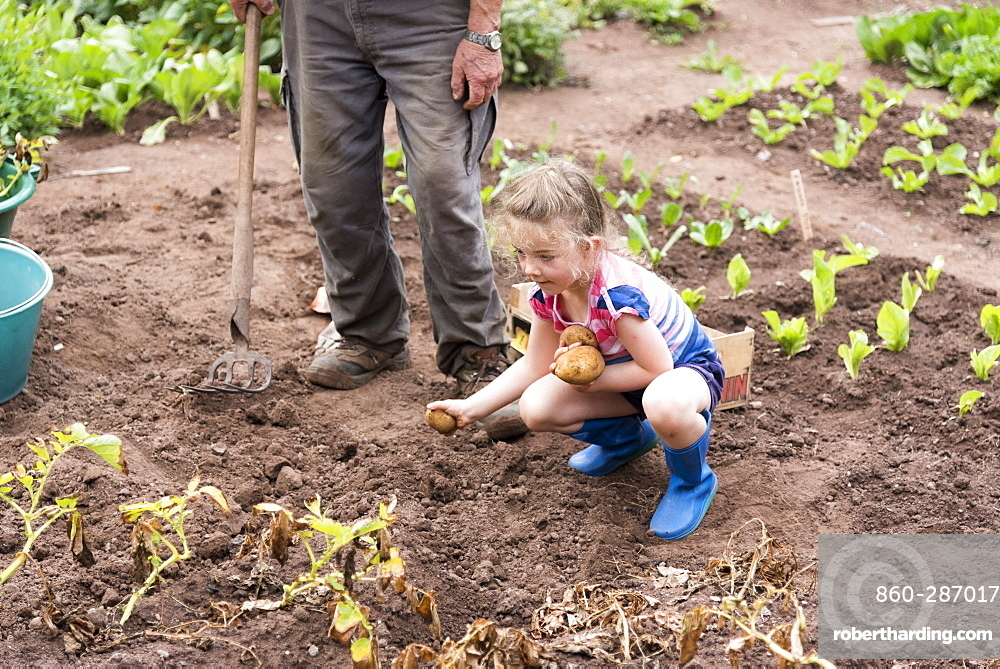 Grandfather harvesting potatoes with his little girls, summer, Moselle, France