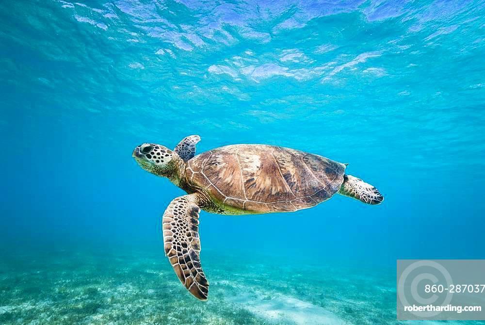 Green turtle (Chelonia mydas) swimming in the lagoon. South lagoon. New Caledonia.