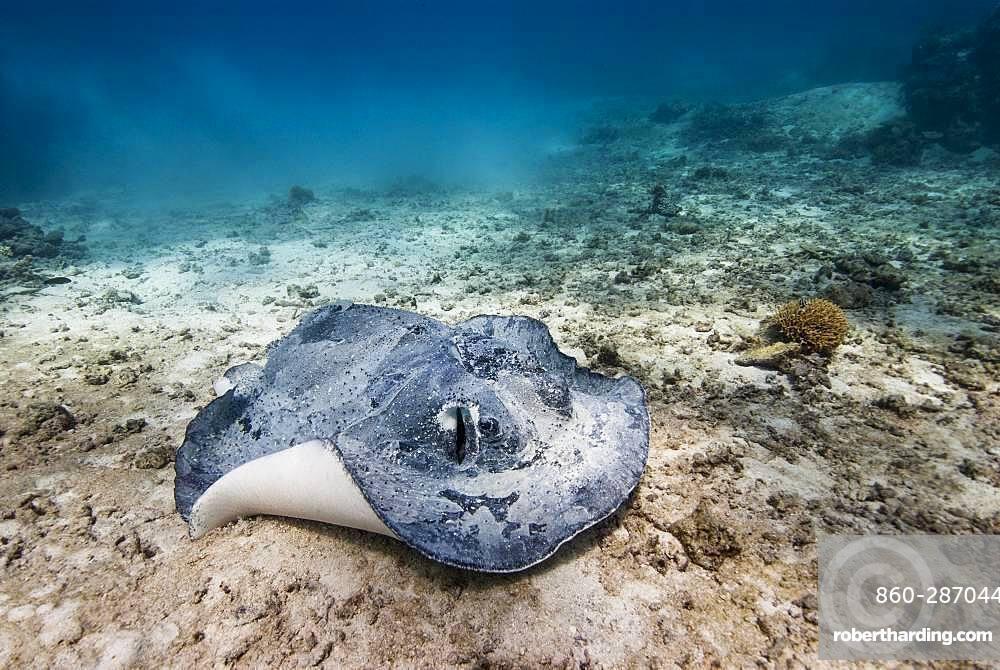 Blotched fantail ray (Taeniura meyeni) on a detrital background. Lagoon of New Caledonia.