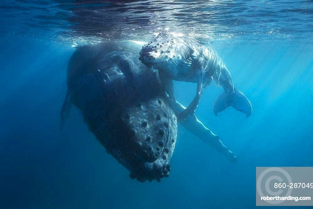 Humpback whale (Megaptera novaeangliae) and its young resting near the shore in the Mayotte lagoon.
