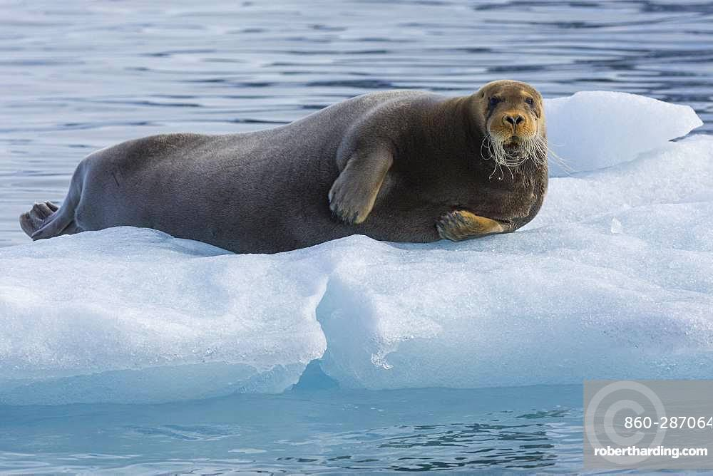 Bearded seal (Erignathus barbatus) on a piece of ice, Fuglefjord, Spitzberg, Svalbard.
