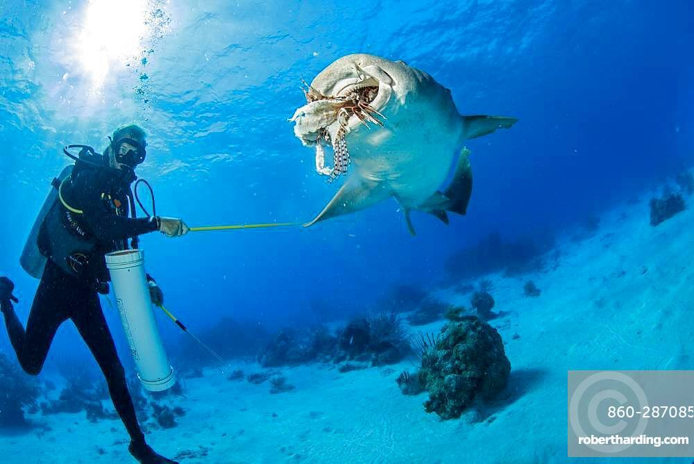 Nurse shark (Ginglymostoma cirratum), steal the fish from the diver, Chinchorro Banks (Biosphere Reserve), Quintana Roo, Mexico