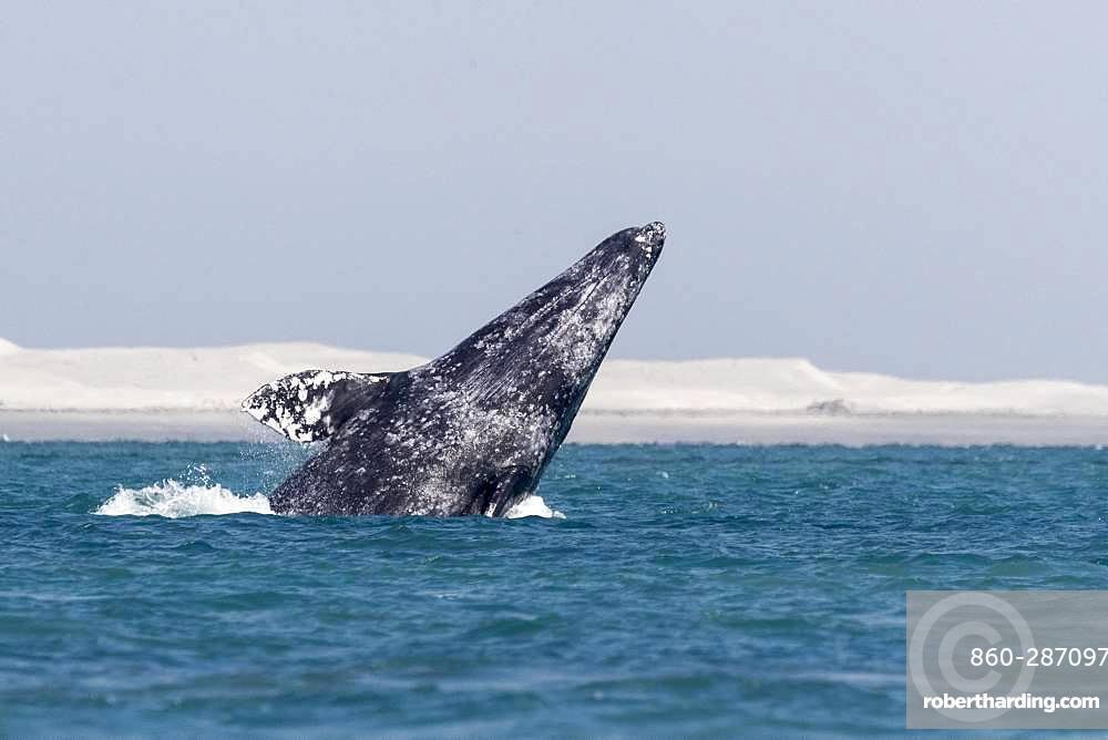 Gray Whale (Eschrichtius robustus), adult, breaching, Ojo de Liebre Lagoon (formerly known as Scammon's Lagoon), Guerrero Negro, Baja California Sur, Mexico