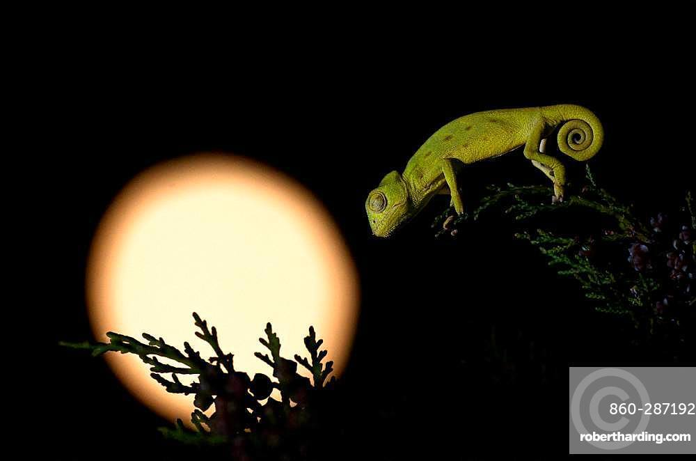 African Chameleon (Chamaeleo africanus) at night, Greece