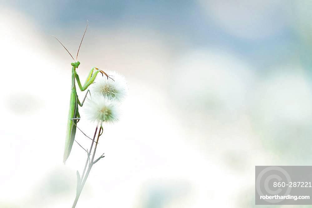 Praying mantis (Mantis religiosa) on flowers